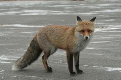 Fox (Vulpes)