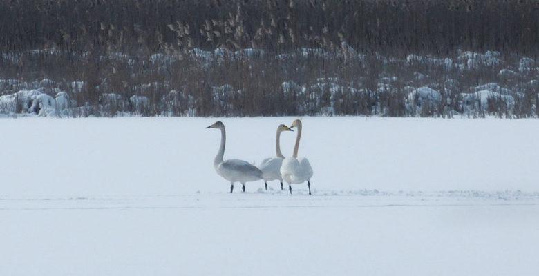 Лебеди-кликуны, смущенные отсутствием воды на водоеме