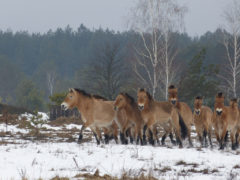Табун коней Пржевальського