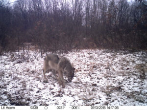 Вовк перед фотопасткою