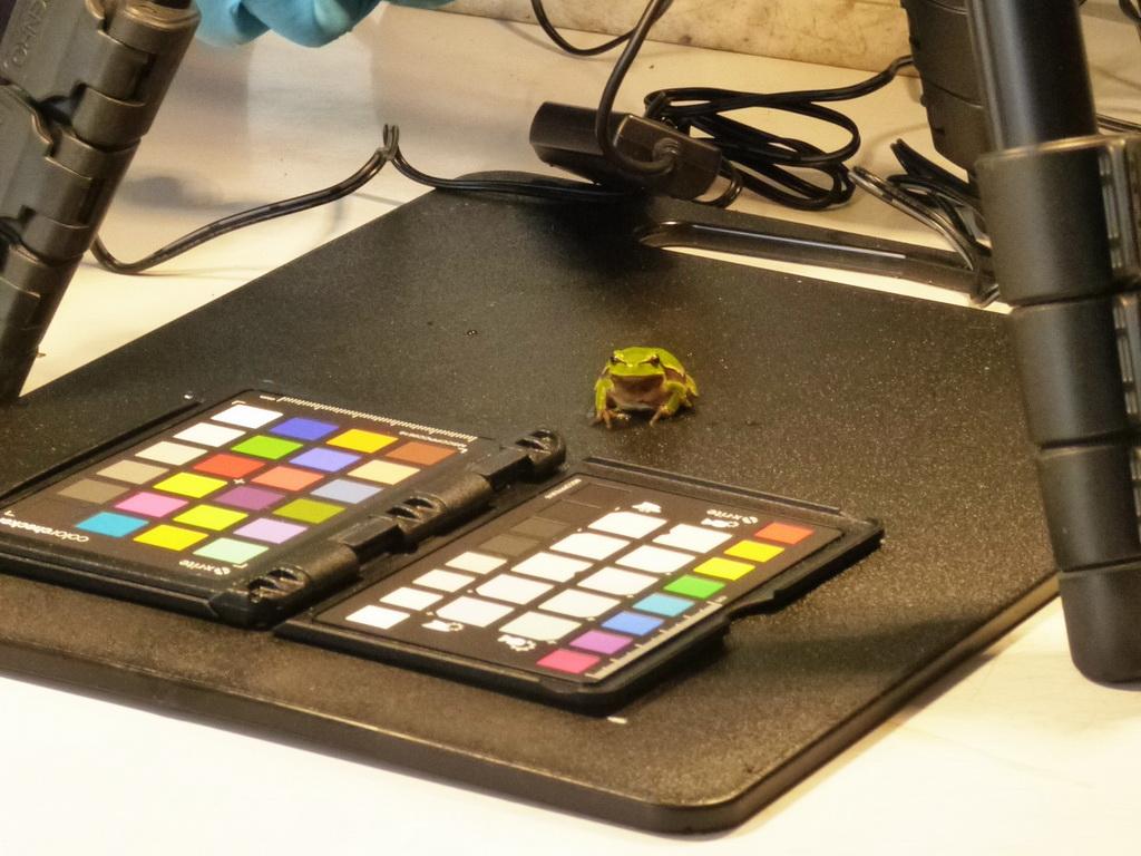 Фотографування кольору шкіри дослідних жаб/Taking photos of skin color of the studied frogs
