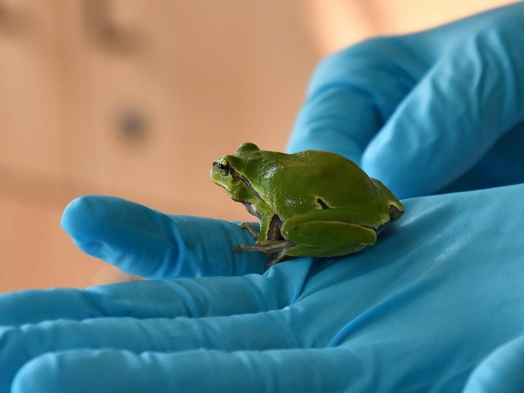 Рахкавка/A tree-frog