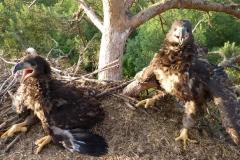 White-tailed sea eagle (Haliaeetus albicilla) nestlings