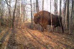 Bison (Bison)