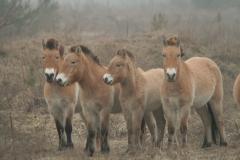 Przewalski's horses (Equus caballus)