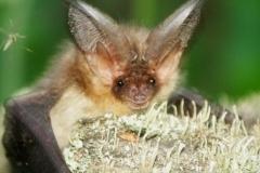 Long-eared bat (Plecotus auritus)