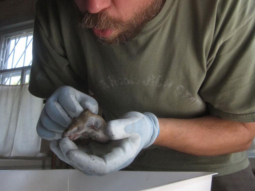 Обдування тварини – спосіб збору ектопаразитів/Blowing animals - a way of collecting ectoparasites