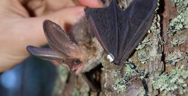 Вухань звичайний – місцевий вид (залишається на зиму)/A common two-eared bat is local species (it stays for the winter)